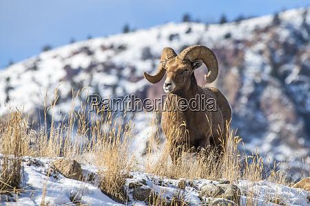 bighorn sheep ram ovis canadensis stands