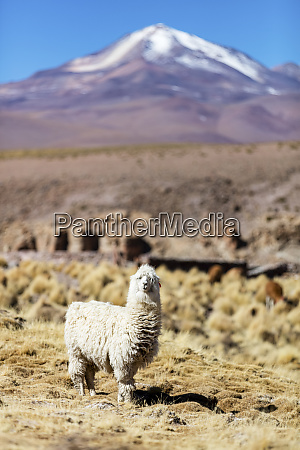 llama ilama glama on the altiplano