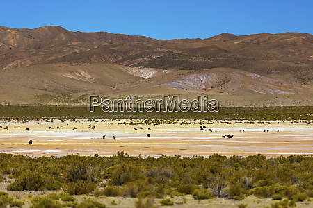 animals on the altiplano landscape potosi