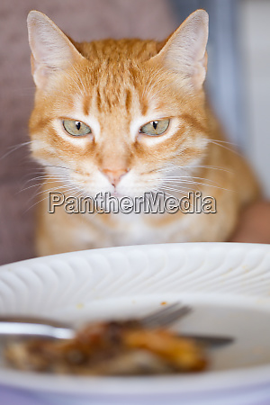 close up of ginger tabby cat