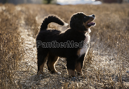 a large bernese mountain dog a