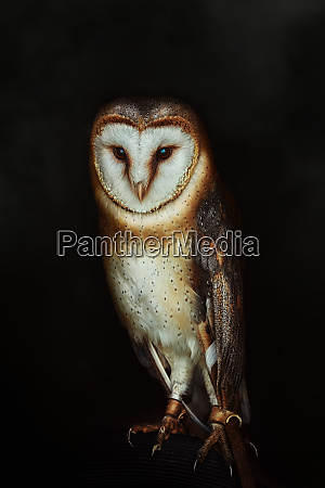 common barn owl tyto alba