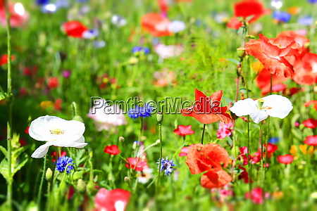 beautiful natural colorful flower meadow