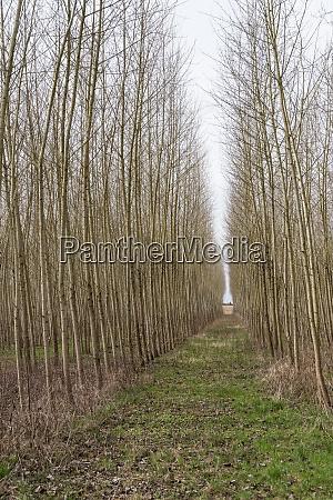 path through avenue in monoculture