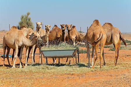 camels at a feeding trough