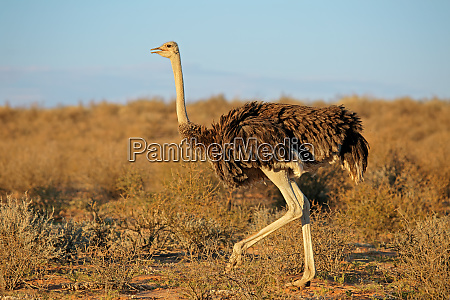 female ostrich kalahari desert