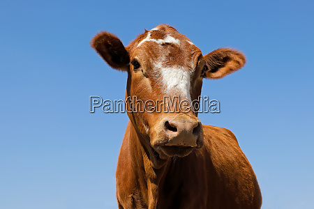 low angle portrait of a cow