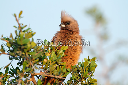 speckled mousebird on a tree