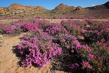 wildflower landscape south africa