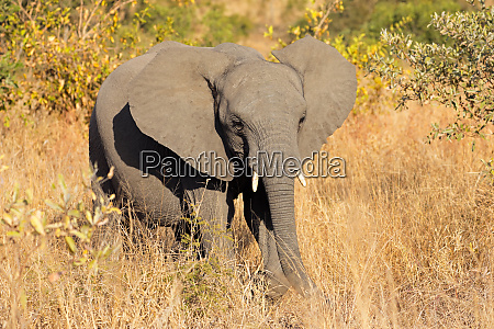 young african elephant in natural habitat