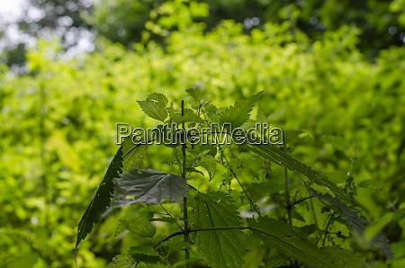 nettles in the spring