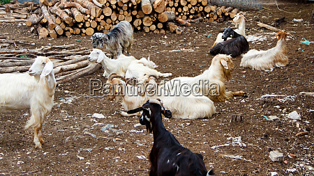 domestic goats in the countryside
