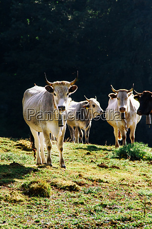 podolic cows on the pasture on