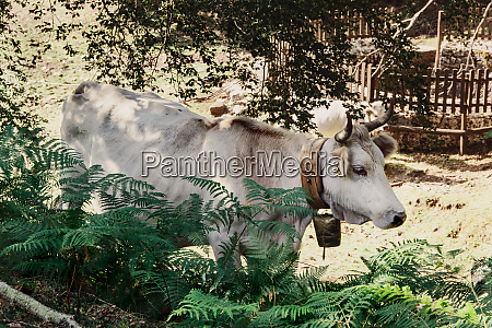 podolic cow on the pasture in