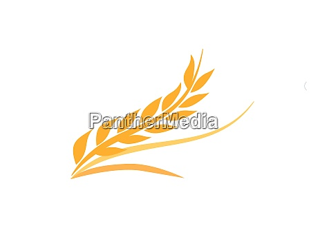 agriculture wheat grain and wheat rye