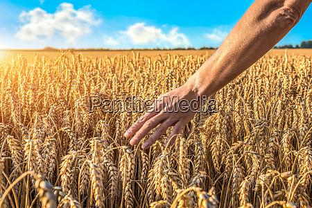 touching ripe wheat