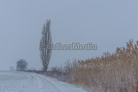 landschaft mit schilf im winter