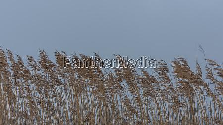 schilf bei wind im winter