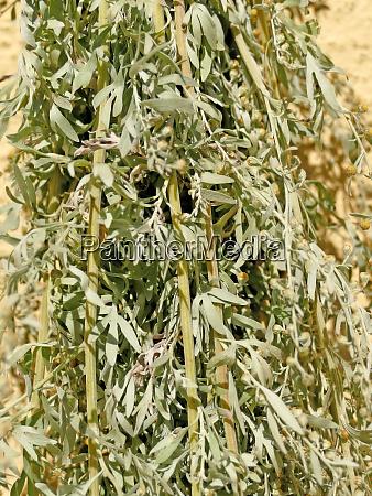 wormwood medicinal plant bundle of herbs