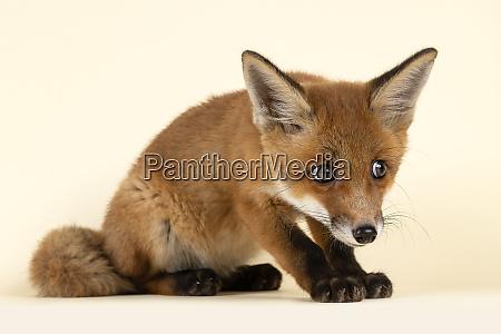 mammal fox 2020 32723