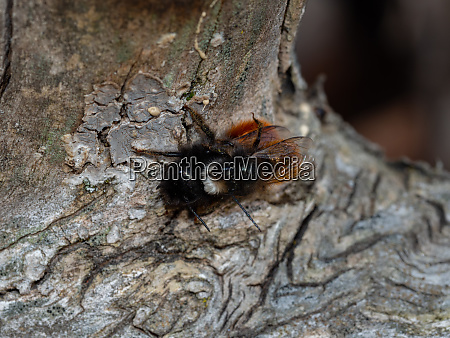 mating time of the mason bee