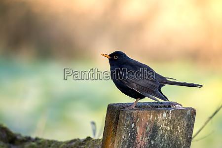 male blackbird turdus merula standing on