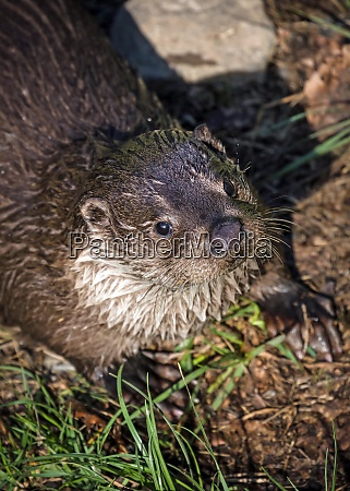portrait of an otter in a