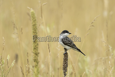 eastern kingbird looking back