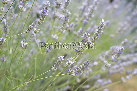 lavender plants with shallow depth of