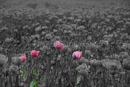 fresh pink poppies on gray