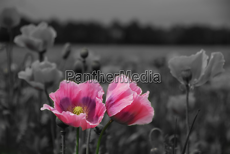 beautiful pink poppy flowers with gray