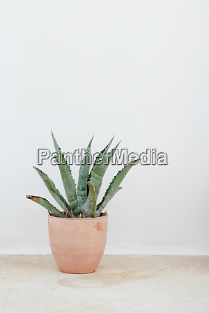 a green agave plant in a