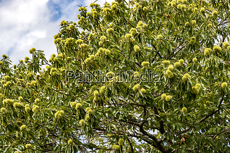 sweet chestnut castanea sativa with
