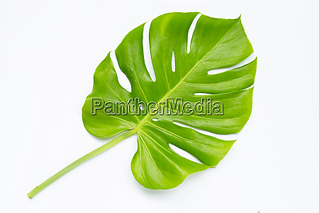 monstera plant leaf on white