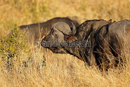 african buffalo portrait kruger national