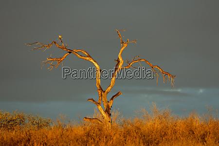 dead tree at sunset kalahari