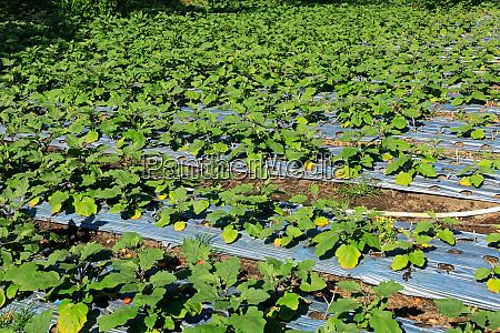 field of irrigated aubergines