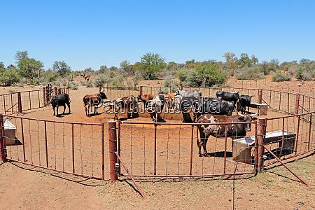 free range nguni cattle at a
