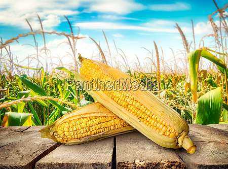corn on table