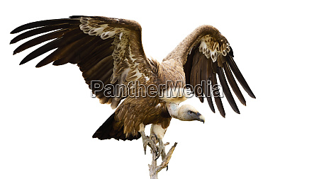 griffon vulture landing on a bough