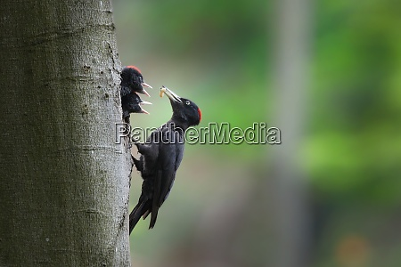 black woodpecker mother feeding chicks on
