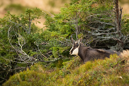 calm tatra chamois laying down on