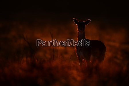 mysterious fallow deer standing on meadow