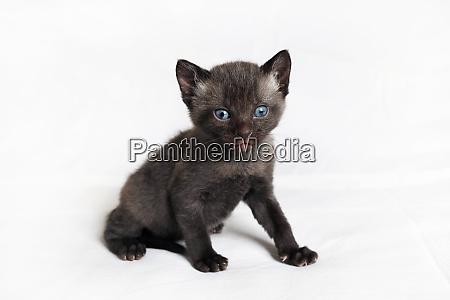 wild black kitten