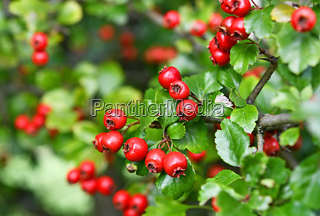 red fruits of the hawthorn