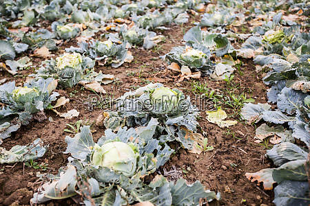 fresh raw organic cabbage in the