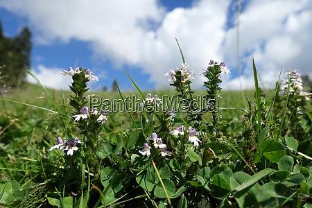 eyebright euphrasia spec bluehende pflanze auf