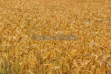 gold wheat field beards of golden