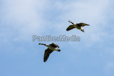 canada geese flying over fields near