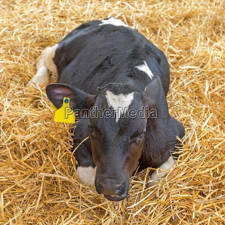 calf cow laying